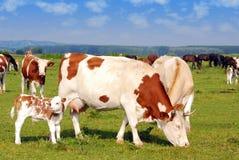Koeien op weiland Stock Foto's
