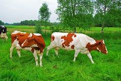 Koeien op weiland, Duitsland Stock Foto's
