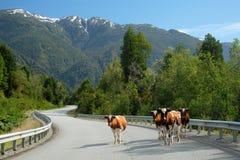 Koeien op Zuidelijke Carretera, Chili stock afbeeldingen