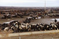 Koeien overvol in een modderige weidegrond royalty-vrije stock foto