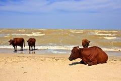 Koeien overzees strand Royalty-vrije Stock Foto's