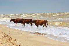 Koeien overzees strand Royalty-vrije Stock Fotografie