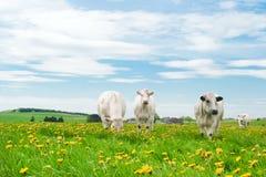 Koeien in paardebloemen Royalty-vrije Stock Foto's
