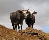 Koeien in Pasen-Eiland Royalty-vrije Stock Afbeeldingen