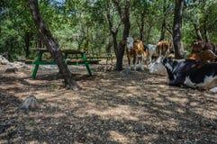 Koeien in picknickplaats Royalty-vrije Stock Afbeeldingen