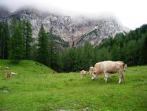 Koeien in Slovenië Royalty-vrije Stock Foto