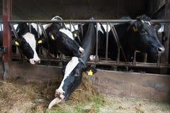 Koeien in Stal Stock Afbeeldingen