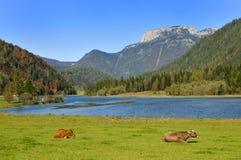 Koeien in Tirol stock afbeeldingen