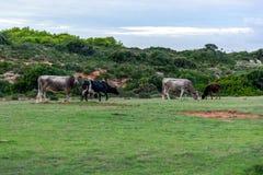 Koeien Tunesië Stock Foto's