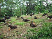 Koeien vóór geslacht aan viering ofEidh al-Adha royalty-vrije stock foto