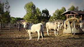 Koeien van maremma stock video
