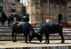 Koeien in Varanasi Stock Foto