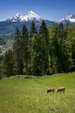Koeien voor indrukwekkende watzmann, Duitsland Royalty-vrije Stock Afbeeldingen