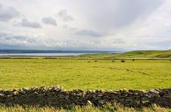 Koeien in Weide royalty-vrije stock afbeelding