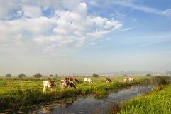 Koeien in weide Royalty-vrije Stock Foto's