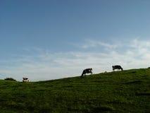 koeien, weide, hemel stock foto's