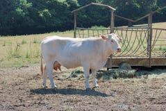 Koeien in weiden stock fotografie