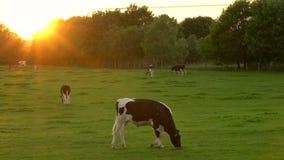 Koeien weiden, die gras op een gebied op een landbouwbedrijf eten bij zonsondergang of zonsopgang stock video