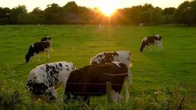 Koeien weiden, die gras op een gebied op een landbouwbedrijf eten bij zonsondergang of zonsopgang stock footage
