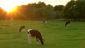 Koeien weiden, die gras op een gebied op een landbouwbedrijf eten bij zonsondergang of zonsopgang stock videobeelden