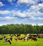 Koeien in weiland Royalty-vrije Stock Afbeelding