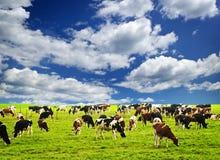 Koeien in weiland Stock Fotografie
