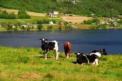 Koeien in weiland royalty-vrije stock foto's