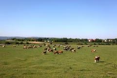 Koeien in weiland Stock Afbeelding