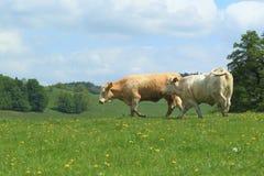 Koeien in weiland Royalty-vrije Stock Fotografie