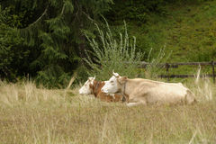 Koeien in weiland, Transsylvanië, Roemenië royalty-vrije stock fotografie