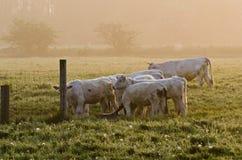 Koeien in zon royalty-vrije stock foto