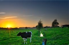 Koeien in Zonsondergang Royalty-vrije Stock Afbeelding