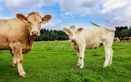 Koeien in Zuid-Bohemen stock afbeelding