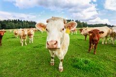 Koeien in Zuid-Bohemen royalty-vrije stock foto