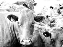 Koeien in zwart-wit Stock Afbeelding