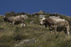 Koeien Zwitserland Royalty-vrije Stock Afbeeldingen