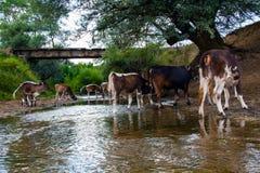 Koeienkudde die duidelijk water van de rivier drinken stock fotografie