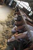 Koeienlandbouwbedrijf Stock Afbeelding