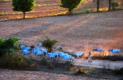 Koeienlandbouwer Stock Foto's