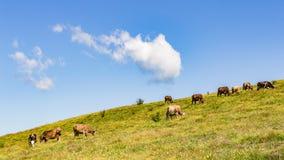 Koeienparadijs royalty-vrije stock fotografie