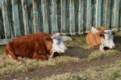 Koeienrust in de middag bij de omheining in het dorp Stock Afbeeldingen