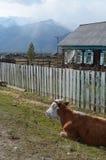 Koeienrust in de middag bij de omheining in het dorp Royalty-vrije Stock Foto