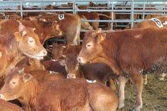 Koeienstal Stock Foto