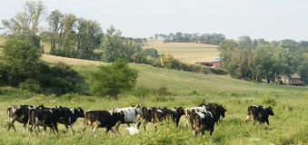 Koeienvee op landbouwbedrijf Stock Afbeeldingen
