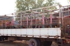 Koeienvervoer in Thailand stock foto's