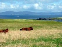 Koeienweiland stil op het Eiland van Iona, Schotland Royalty-vrije Stock Foto's