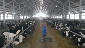 Koeiestal met vee en een mannelijke arbeider met laptop die langs het lopen stock videobeelden