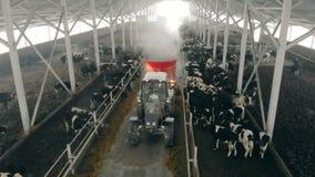Koeiestal met vee en een tractor die langs het berijden stock footage