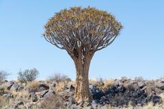 Koekerboom (aloés Dictoma) em Namíbia Imagens de Stock Royalty Free