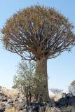 Koekerboom (aloés Dictoma) em Namíbia Fotografia de Stock Royalty Free